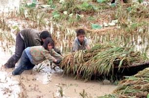 Người nông dân chắt chiu, góp nhặt từng hạt lúa...