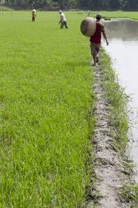 Một nông dân đang đi trên con đê. AFP photo