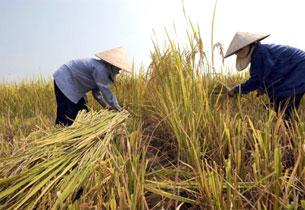 Nông dân trong mùa gặt ở Đồng Bằng Sông Cửu Long.