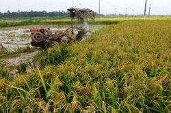Một cánh đồng lúa chín vàng ở Hà Nội chụp ngày 11/6/2013. AFP photo