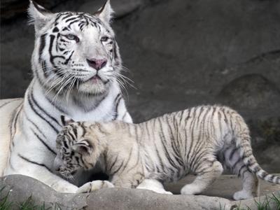 Chú Hổ Trắng mẹ 12 tuồi và một chú Hổ Trắng con 9 tuần tuổi tại một sở thú ở Chi Lê hôm 30/10/2018. Hổ Trắng hiện là loài động vật quý hiếm được bảo tồn trong sách đỏ.