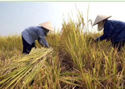 Lúa chín, mùa thu hoạch trên ĐBSCL- AFP photo