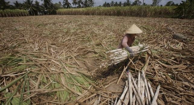 Một người nông dân đang thu thoạch cây mía giữa thời kỳ hạn hán.
