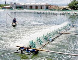 Một ao nuôi cá tra theo mẫu của VietgGap ở vùng đồng bằng sông Cửu Long. Courtesy VietGap