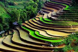 Vỉa lúa ở Sapa, Việt Nam.-  Vietnam Bulletin photo