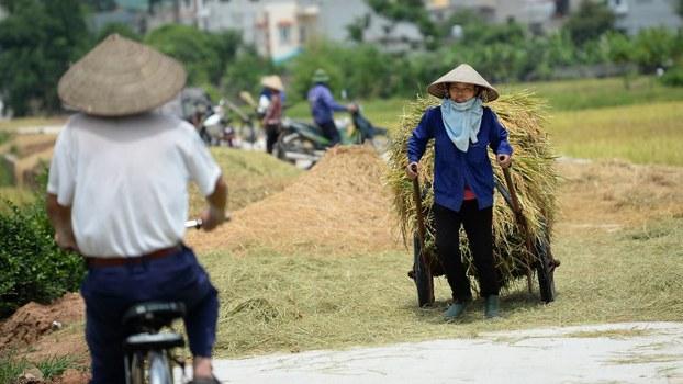 Một nông dân kéo chiếc xe chở các bó lúa mới thu hoạch ở ngoại ô Hà Nội vào ngày 9 tháng 6 năm 2017.