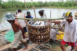 Nông dân nuôi cá tra ở đồng bằng sông Cửu Long. Source Vietfish.org