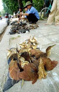 Nhiều loài chim hoang dã được bầy bán trên vỉa hè của đường phố Hà Nội.  AFP