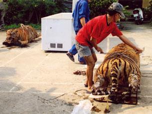 Một tổ chức buôn bán hổ bị phác giác ở Ninh Bình, nhiều con hổ đông lạnh chưa kịp chuyển đi bị tịch thu. Source Vietnamnet