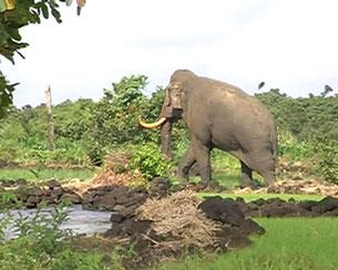 Một con voi rừng xuất hiện tại rẫy của dân tại xã Phú Hòa, H.Định Quán, tỉnh Đồng Nai hồi tháng 9, 2011(đây là con voi duy nhất còn sót lại tại rừng phòng hộ Tân Phú) Theo Kim Cương/báo Thanh Niên