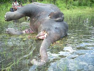 Voi không những bị giết vì bọn săn trộm mà một số khác cũng chết vì bị ép làm việc quá sức. Source thegioidongvat.com