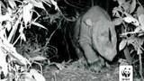 Tê giác một sừng còn được gọi tê giác Java