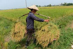 Một người nông dân thu hoạch lúa trên cánh đồng ở ngoại ô Hà Nội vào ngày 11 tháng 10 năm 2012. AFP photo