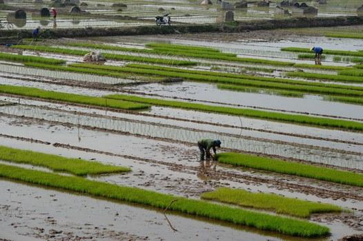 Nông dân cấy lúa cho vụ đông xuân trên một cánh đồng ở ngoại ô Hà Nội vào ngày 02 tháng 3 năm 2016.