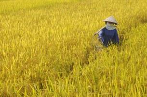Một cánh đồng lúa chín