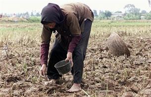 Người nông dân chắt chiu, góp nhặt từng hạt lúa. AFP