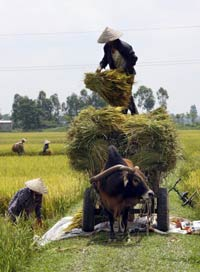 Thu hoạch lúa ở Hà Tây. AFP photo