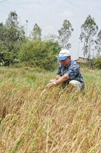 Lúa Gia Rai tỉnh Bạc Liêu bị chết khô vì nước mặn xâm nhập. [Nguồn: ảnh Gs. Võ Tòng Xuân]