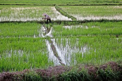 Ảnh chụp vào ngày 27 Tháng 6 năm 2015 một người nông dân ở một cánh đồng lúa ở Hội An, Quảng Nam một tỉnh miền trung của Việt Nam.