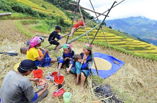 Một gia đình dân tộc Hmong nghỉ ăn trưa trong khi thu hoạch lúa  ở huyện Mù Cang Chải, tỉnh miền núi phía bắc Yên Bái