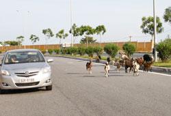 """Một khu vực đang đô thị hóa, vẫn còn gia súc """"lang thang"""" trong thành phố. RFA photo"""