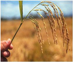 hybrid-rice-250.jpg