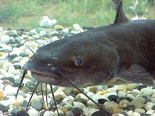 """Loại cá da trơn và có râu gọi chung là """"catfish"""" tức là """"cá mèo"""" . Source Wikipedia"""