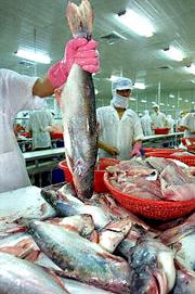 Trong một công xưởng chế biến cá tra và cá basa để xuất khẩu ở An Giang. AFP photo