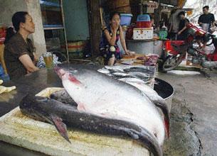 Cá basa của Việt Nam được người tiêu dùng Mỹ ưa chuộnghơn là cá catfish nội địa