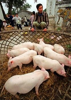 Việt Nam là nước sản xuất thịt heo đứng hàng thứ sáu trên thế giới (Ảnh minh họa).