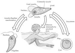 Sơ đồ quá trình lây nhiễm virus Naegleria fowleri. Courtesy mscd.edu