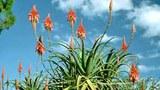 Cây Lô hội (Aloe Vera)