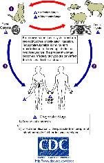 Toxoplasma_LifeCycle150.jpg