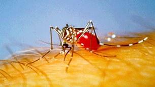 Muỗi chủ yếu truyền bệnh sốt xuất huyết là muỗi Aedes aegypti