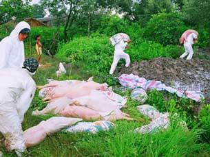 Những địa phương có dịch heo tai xanh thường sẽ xuất hiện dịch liên cầu lợn lây sang người.