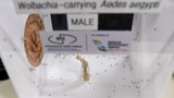 Nuôi muỗi vằn mang vi khuẩn Wolbachia tại Cơ quan Môi trường Quốc gia Singapore hôm 7/2/2017.
