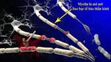 Khi mô myelin bị tổn thương, các tế bào mất hẳn khả năng truyền tin, từ đó gây nên các chứng bệnh thần kinh điển hình như đa xơ cứng (Multiple Sclerosis - MS)