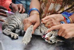 Tiêm phòng bệnh dại miễn phí cho mèo tại một bệnh viện thú y ở Hyderabad ngày 06 tháng 7 năm 2010. AFP photo