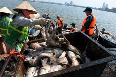 Nhân viên môi trường vớt cá chết tại Hồ Tây, Hà Nội, hôm 23/10/2016.