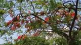 hoa-phuong-mua-he-305.jpg