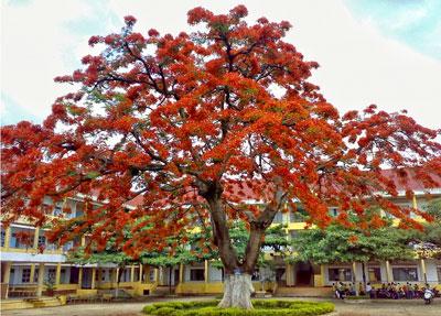 Những cây hoa phượng thường hay được trồng trong sân trường