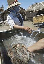 Sau Thái Lan, Việt Nam là nguồn cung cấp tôm lớn hạng nhì cho Hoa Kỳ. AFP photo