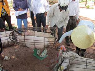 Chương trình nuôi heo cho dân nghèo. Source  thuongvietngheo.org