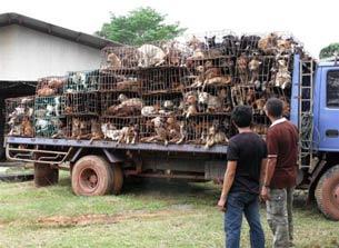 Một chiếc xe chở đầy chó trên đường từ Thái sang Việt Nam bị cảnh sát Thái bắt hôm 12/8/2011