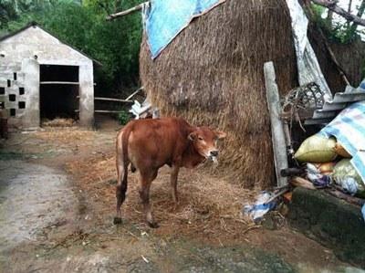 Dự án chăn nuôi gia súc trả vốn của Thương Việt Nghèo.
