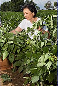 Tiến sĩ Tara Van Toại (hiện đã về hưu) đã phát triển được các giống đậu nành phát triển mạnh trong vùng ẩm ướt ở đồng bằng sông Mississippi, nơi chúng được trồng luân canh với lúa. Photo courtesy of ars.usda.gov