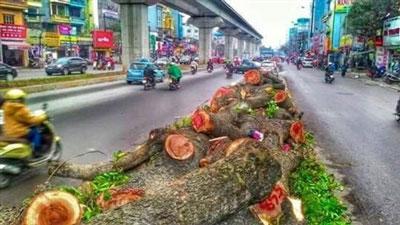 Gần cả ngàn cây đã bị đốn hạ vô tội vạ....(photo Kienthuc.net)