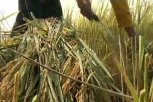 Mùa gặt lúa tại ĐBSCL.