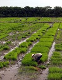 Mùa gặt ở vùng đồng bằng sông Cửu Long. AFP photo.