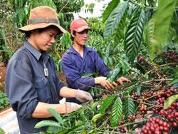 Công nhân thâu hoạch cà phê. Source giacaphe